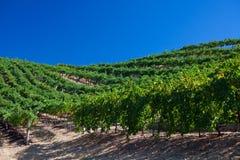 在葡萄园之下的蓝色葡萄树天空 免版税图库摄影