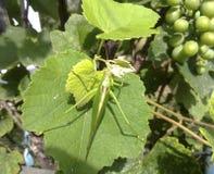 在葡萄园叶子的一只绿色蚂蚱 库存照片