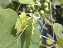 在葡萄园叶子的一只绿色蚂蚱 库存图片