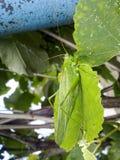 在葡萄园叶子的一只绿色蚂蚱 免版税图库摄影