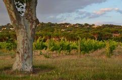 在葡萄园旁边的偏僻的Platan树,普罗旺斯 库存照片