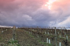 在葡萄园的剧烈的天空在奥德省,在法国的南部的Occitanie 免版税图库摄影