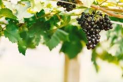 在葡萄园的成熟葡萄 免版税库存照片
