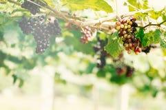 在葡萄园的成熟葡萄 库存照片