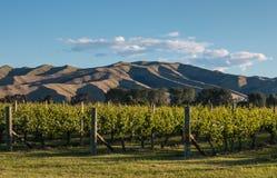 在葡萄园的日落在新西兰 免版税图库摄影