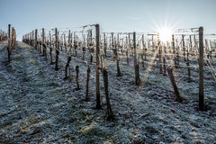 在葡萄园的第一雪在太阳早晨 图库摄影