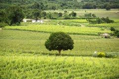 在葡萄园的芒果树 免版税图库摄影