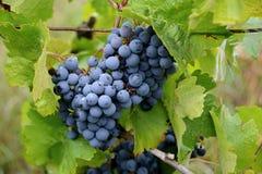 在葡萄园的葡萄树,做的红葡萄酒莓果 免版税库存图片