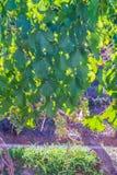 在葡萄园的藤叶子在Mendoza 免版税库存照片