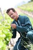 在葡萄园里检查葡萄的演变种葡萄并酿酒的人 免版税图库摄影