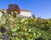 在葡萄园里防御Stainz用蓝色藤葡萄在秋天 库存照片