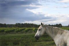 在葡萄园附近的马 免版税库存照片