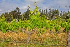 在葡萄树的新的成长 免版税库存照片