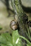 在葡萄树的树干的一只蜗牛 图库摄影