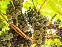 在葡萄树的甜深蓝葡萄 免版税图库摄影