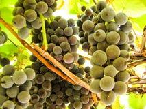 在葡萄树的甜深蓝葡萄 库存照片
