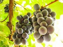在葡萄树的甜深蓝葡萄 图库摄影