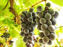 在葡萄树的甜深蓝葡萄 免版税库存图片