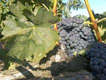 在葡萄树的红葡萄在收获之前 免版税图库摄影