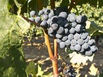 在葡萄树的红葡萄在收获之前 免版税库存图片