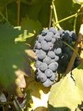 在葡萄树的红葡萄在收获之前 免版税库存照片
