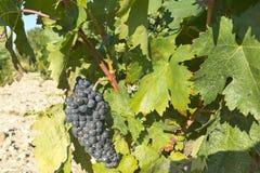 在葡萄树的红葡萄在收获之前 图库摄影