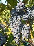 在葡萄树的红葡萄在收获之前 库存图片