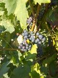 在葡萄树的红葡萄在收获之前 la rioja西班牙 免版税库存照片