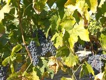 在葡萄树的红葡萄在收获之前 la rioja西班牙 免版税图库摄影