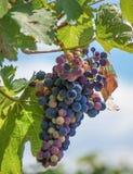 在葡萄树的葡萄树 免版税图库摄影