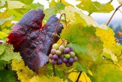 在葡萄树的葡萄酒在秋季俄勒冈美国 免版税库存照片