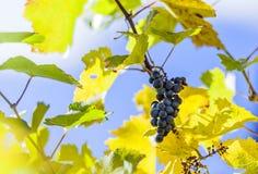 在葡萄树的蓝色藤葡萄与一些在一个styrian藤离开 库存图片
