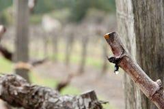 在葡萄树的露滴在冬天 免版税库存图片
