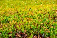 在葡萄牙海岸线的绿色红色多汁植物 免版税图库摄影