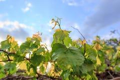 在葡萄的叶子本质上 免版税库存照片