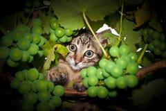 在葡萄的猫 库存图片