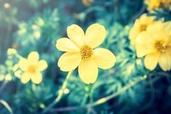 在葡萄酒光的黄色雏菊。 库存照片