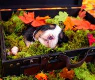 在葡萄酒手提箱的小狗 库存图片