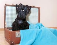在葡萄酒手提箱的苏格兰狗 库存照片