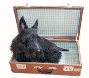 在葡萄酒手提箱的苏格兰狗 免版税图库摄影