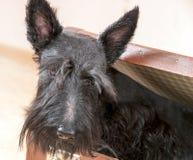 在葡萄酒手提箱的苏格兰狗 免版税库存照片