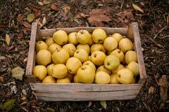 在葡萄酒木箱的金黄苹果在充分地面秋天叶子上 在条板箱的成熟黄色果子收获 秋天 库存图片