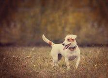 在葡萄酒样式的杰克罗素狗 免版税库存照片