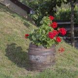 在葡萄酒样式的花Garden.vector花卉背景 充分桶安排红色花在匈牙利 免版税库存图片