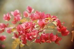 在葡萄酒框架设置,俏丽的背景的桃红色颜色九重葛 库存照片