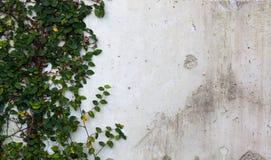 在葡萄酒白色墙壁上的绿色爬行物厂 免版税库存图片