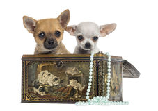 在葡萄酒箱子的两只奇瓦瓦狗小狗, 4个月,被隔绝 免版税库存照片