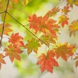 在葡萄酒纸背景的五颜六色的槭树叶子 库存照片
