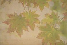 在葡萄酒纸背景的槭树叶子 库存图片
