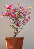 在葡萄酒罐的一棵开花的树 免版税库存照片